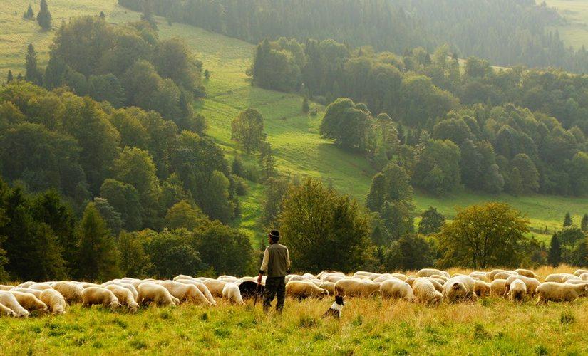 Shepherding + Obedience